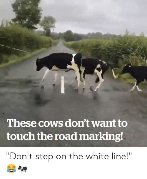 "The Road: These cows don't want to  touch the road marking! ""Don't step on the white line!"" 😂🐄"