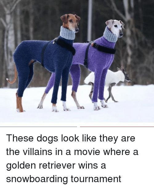 Dogs, Golden Retriever, and Movie: These dogs look like they are the villains in a movie where a golden retriever wins a snowboarding tournament