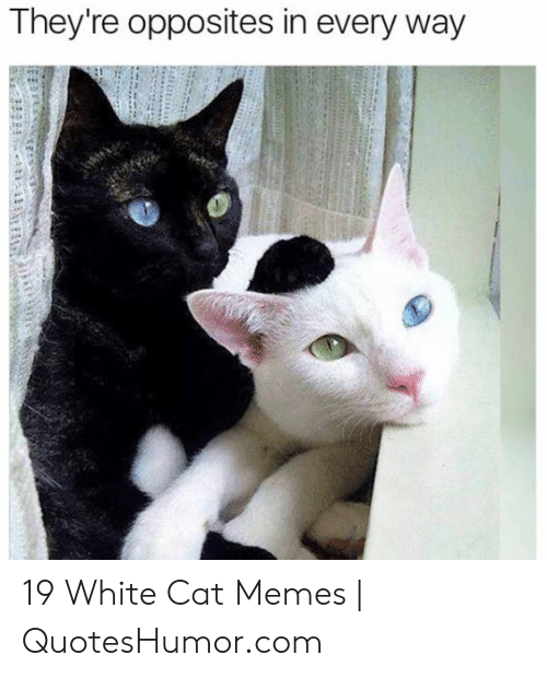 Quoteshumor: They're opposites in every way 19 White Cat Memes | QuotesHumor.com