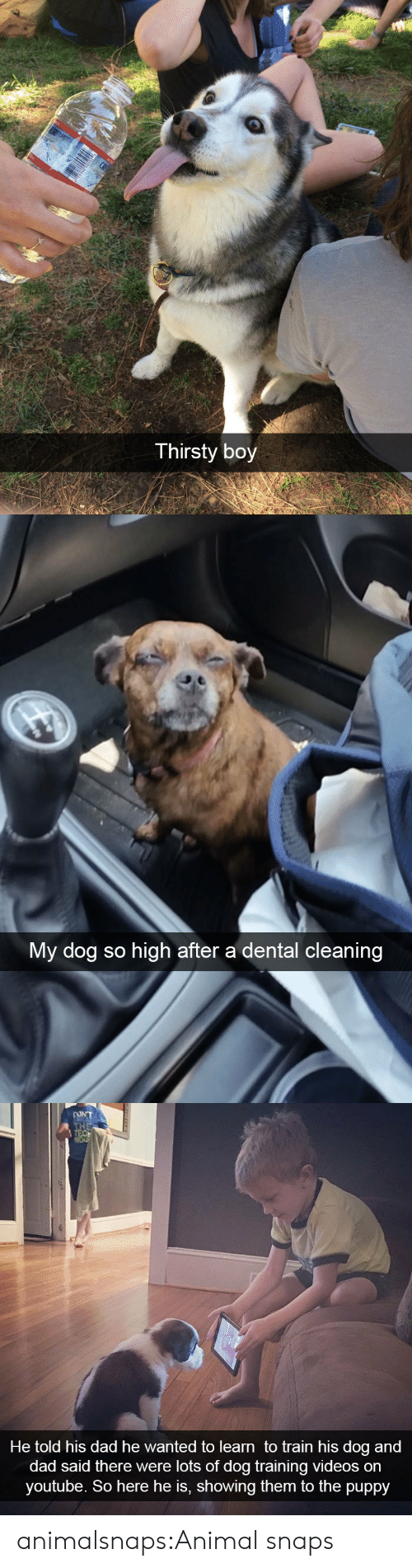 Dental: Thirsty boy   My dog so high after a dental cleaning   DONT  THE  REC  He told his dad he wanted to learn to train his dog and  dad said there were lots of dog training videos on  youtube. So here he is, showing them to the puppy animalsnaps:Animal snaps