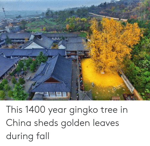sheds: This 1400 year gingko tree in China sheds golden leaves during fall