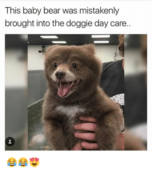 baby bear: This baby bear was mistakenly  brought into the doggie day care. 😂😂😍