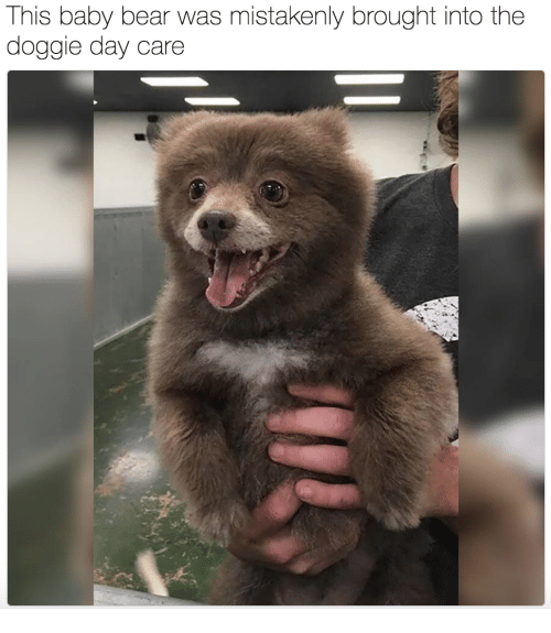 baby bear: This baby bear was mistakenly brought into the  doggie day care