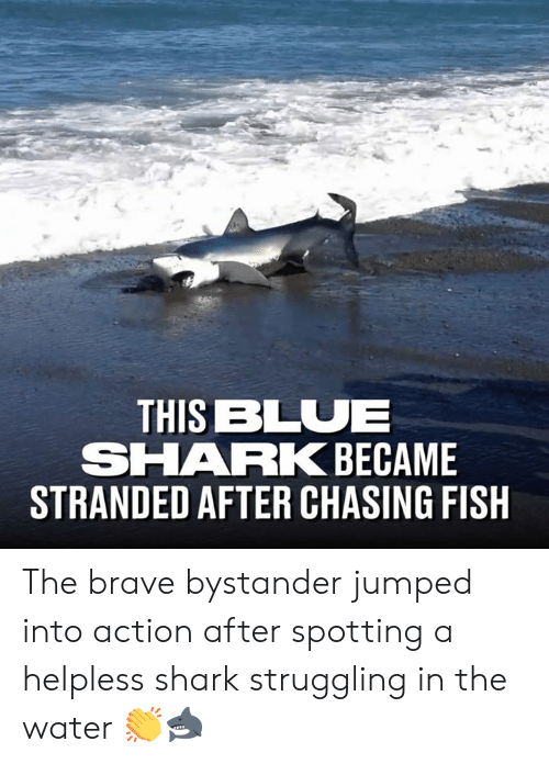 Fishes: THIS BLUE  SHARK BECAME  STRANDED AFTER CHASING FISH The brave bystander jumped into action after spotting a helpless shark struggling in the water 👏🦈