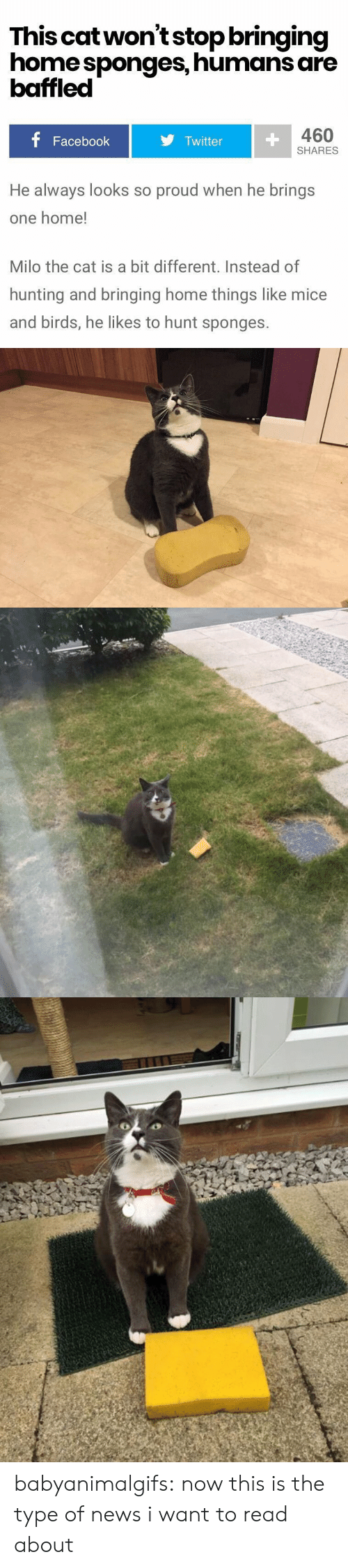sponges: This catwon'tstop bringing  home sponges, humans are  baffled  460  Facebook  Twitter  SHARES  He always looks so proud when he brings  one home!  Milo the cat is a bit different. Instead of  hunting and bringing home things like mice  and birds, he likes to hunt sponges. babyanimalgifs:  now this is the type of news i want to read about