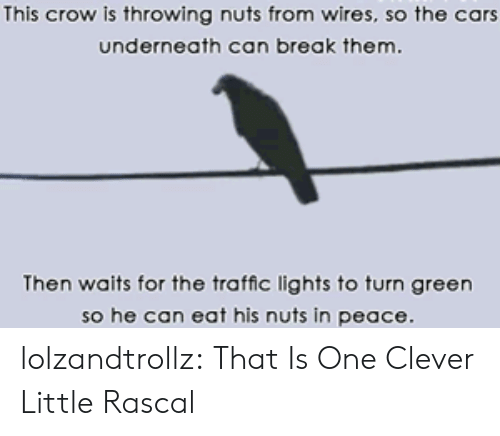 Cars, Traffic, and Tumblr: This crow is throwing nuts from wires, so the cars  underneath can break them.  Then waits for the traffic lights to turn green  so he can eat his nuts in peace lolzandtrollz:  That Is One Clever Little Rascal