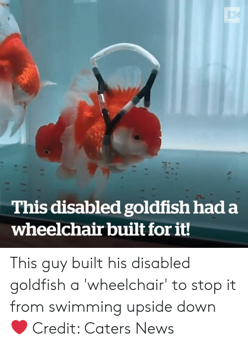 Goldfish: This disabled goldfish had a  wheelchair built for it! This guy built his disabled goldfish a 'wheelchair' to stop it from swimming upside down ❤️️  Credit: Caters News
