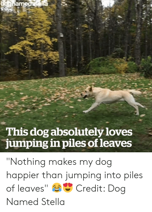"""Dog, Stella, and Piles: This dog absolutely loves  jumping in piles of leaves """"Nothing makes my dog happier than jumping into piles of leaves"""" 😂😍  Credit: Dog Named Stella"""