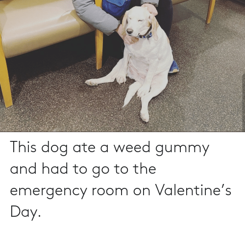 emergency: This dog ate a weed gummy and had to go to the emergency room on Valentine's Day.