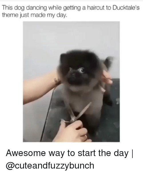 Dancing, Haircut, and Memes: This dog dancing while getting a haircut to Ducktale's  theme just made my day. Awesome way to start the day | @cuteandfuzzybunch