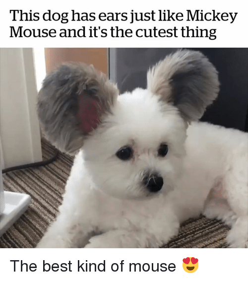 Best, Mickey Mouse, and Mouse: This dog has ears just like Mickey  Mouse and it's the cutest thing The best kind of mouse 😍