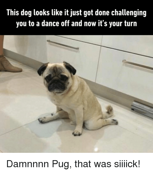 Dank, Dance, and 🤖: This dog looks like it just got done challenging  you to a dance off and now it's your turn Damnnnn Pug, that was siiiick!