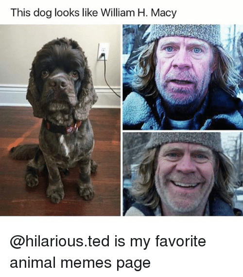 Memes Page: This dog looks like William H. Macy @hilarious.ted is my favorite animal memes page