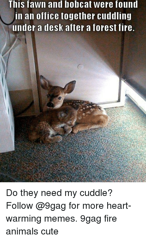 9gag, Animals, and Cute: This fawn and bobcat were found  in an office together cuddling  under a desk after a forest fire. Do they need my cuddle? Follow @9gag for more heart-warming memes. 9gag fire animals cute