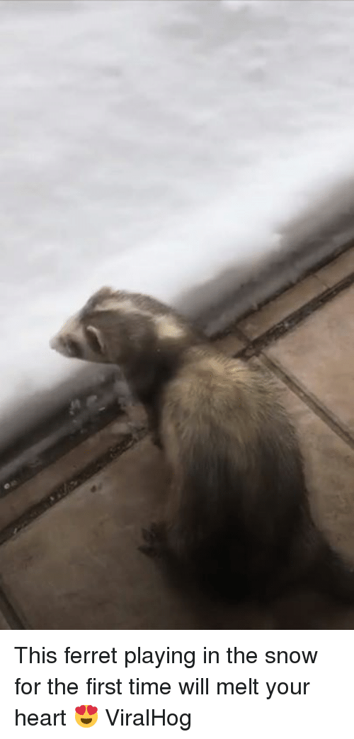 Ferret, Heart, and Snow: This ferret playing in the snow for the first time will melt your heart 😍  ViralHog