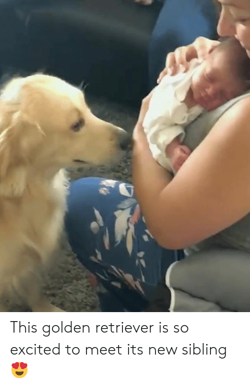Golden Retriever, New, and This: This golden retriever is so excited to meet its new sibling 😍