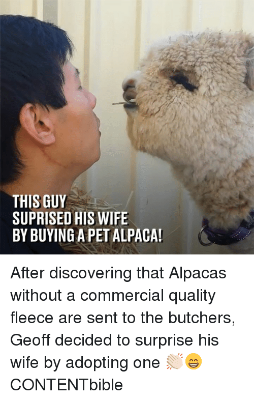 Dank, Wife, and Alpaca: THIS GUY  SUPRISED HIS WIFE  BY BUYING A PET ALPACA After discovering that Alpacas without a commercial quality fleece are sent to the butchers, Geoff decided to surprise his wife by adopting one 👏🏻😁  CONTENTbible