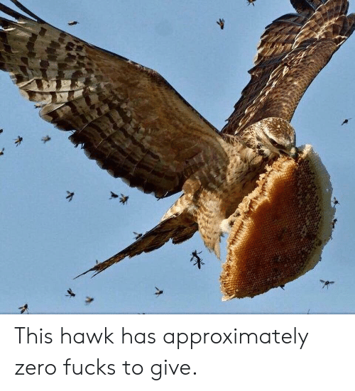 hawk: This hawk has approximately zero fucks to give.