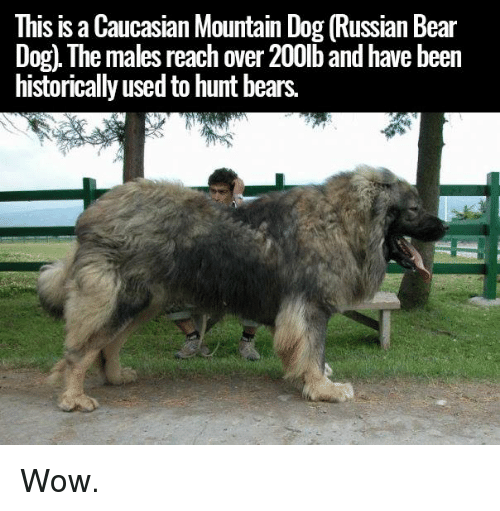 This Is Caucasian Mountain Dog Russian Bear Dog Ne Males
