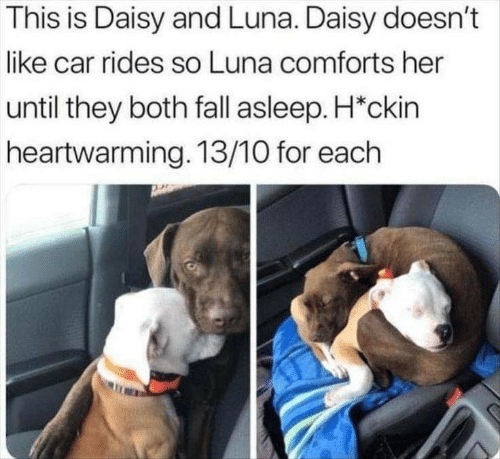 Rides: This is Daisy and Luna. Daisy doesn't  like car rides so Luna comforts her  until they both fall asleep. H*ckin  heartwarming. 13/10 for each