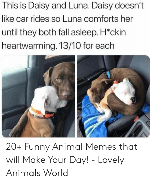 Animal Memes: This is Daisy and Luna. Daisy doesn't  like car rides so Luna comforts her  until they both fall asleep. H*ckin  heartwarming. 13/10 for each 20+ Funny Animal Memes that will Make Your Day! - Lovely Animals World