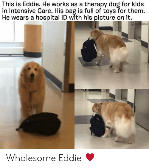 for kids: This is Eddie. He works as a therapy dog for kids  in Intensive Care. His bag is full of toys for them.  He wears a hospital ID with his picture on it.  box Wholesome Eddie ♥️