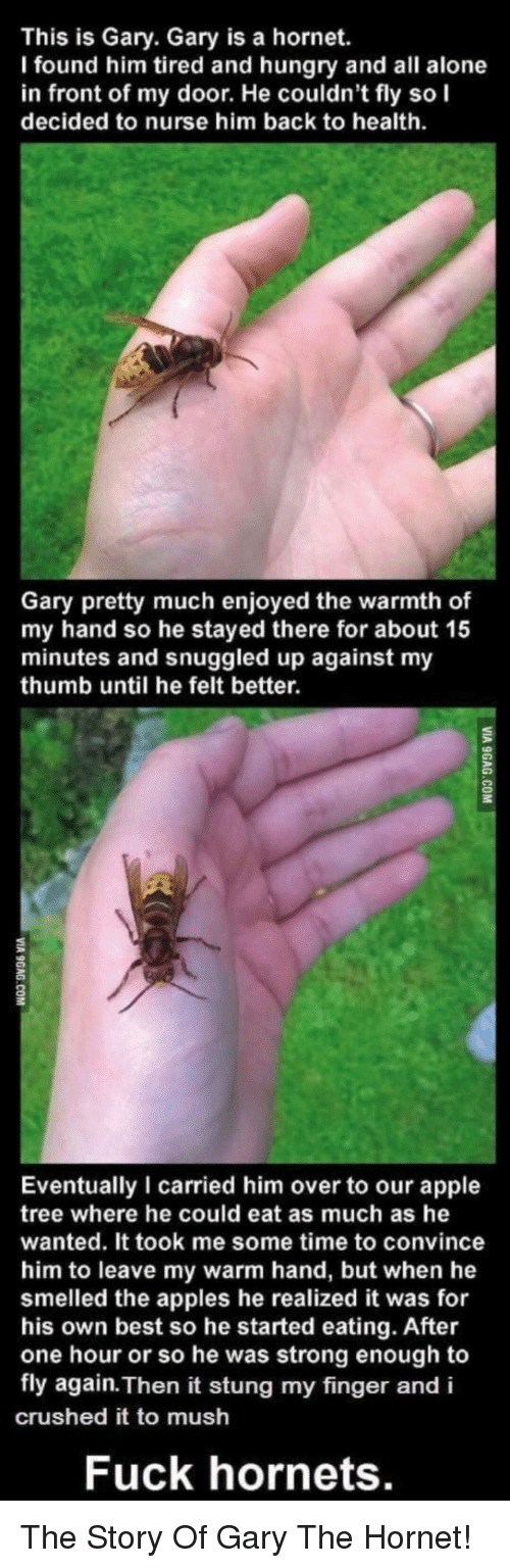Being Alone, Apple, and Hungry: This is Gary. Gary is a hornet.  I found him tired and hungry and all alone  in front of my door. He couldn't fly so I  decided to nurse him back to health  Gary pretty much enjoyed the warmth of  my hand so he stayed there for about 15  minutes and snuggled up against my  thumb until he felt better.  2  Eventually I carried him over to our apple  tree where he could eat as much as he  wanted. It took me some time to convince  him to leave my warm hand, but when he  smelled the apples he realized it was for  his own best so he started eating. After  one hour or so he was strong enough to  fly again. Then it stung my finger and i  crushed it to mush  Fuck hornets. The Story Of Gary The Hornet!