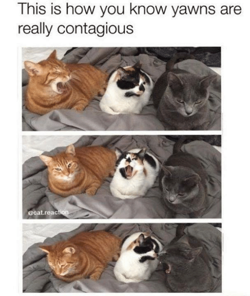 Contagious: This is how you know yawns are  really contagious  @cat.reac