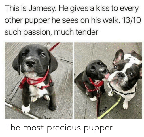 Precious, Kiss, and Passion: This is Jamesy. He gives a kiss to every  other pupper he sees on his walk. 13/10O  such passion, much tender The most precious pupper