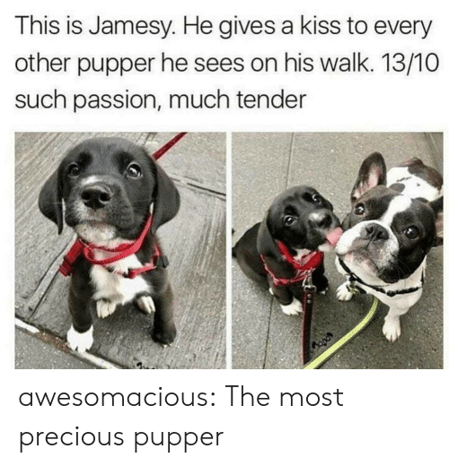 Precious, Tumblr, and Blog: This is Jamesy. He gives a kiss to every  other pupper he sees on his walk. 13/10O  such passion, much tender awesomacious:  The most precious pupper