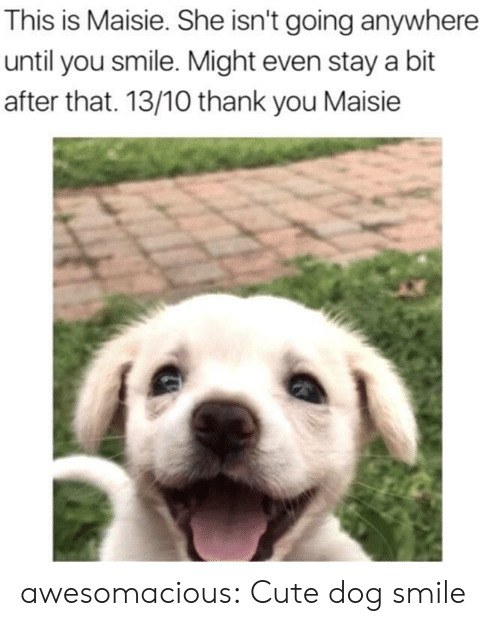 Cute, Tumblr, and Thank You: This is Maisie. She isn't going anywhere  until you smile. Might even stay a bit  after that. 13/10 thank you Maisie awesomacious:  Cute dog smile