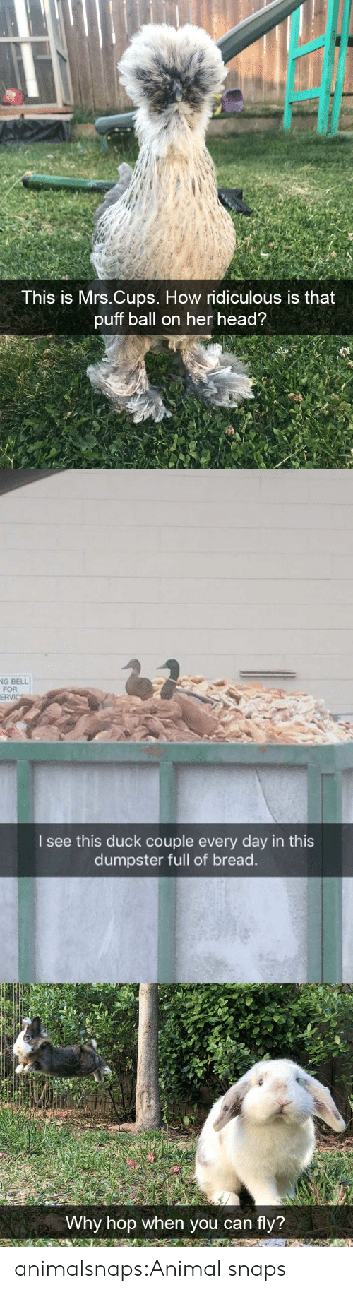 Head, Target, and Tumblr: This is Mrs.Cups. How ridiculous is that  puff ball on her head?   G BELL  FOR  ERVIC  I see this duck couple every day in this  dumpster full of bread.   Why hop when you can fly? animalsnaps:Animal snaps