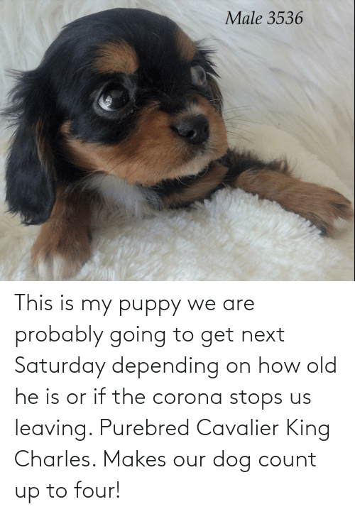 Stops: This is my puppy we are probably going to get next Saturday depending on how old he is or if the corona stops us leaving. Purebred Cavalier King Charles. Makes our dog count up to four!