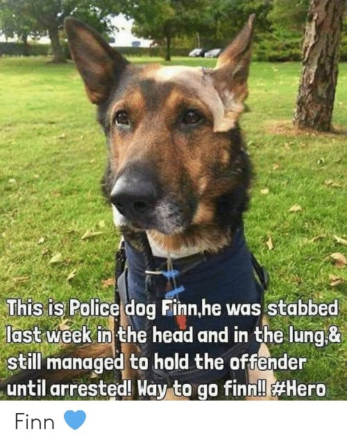 police dog: This is Police dog Finn,he was Stabbed  last week in the head and in the lung&  still managed to hold the offender  until arrested! Way to go finn!l Finn 💙