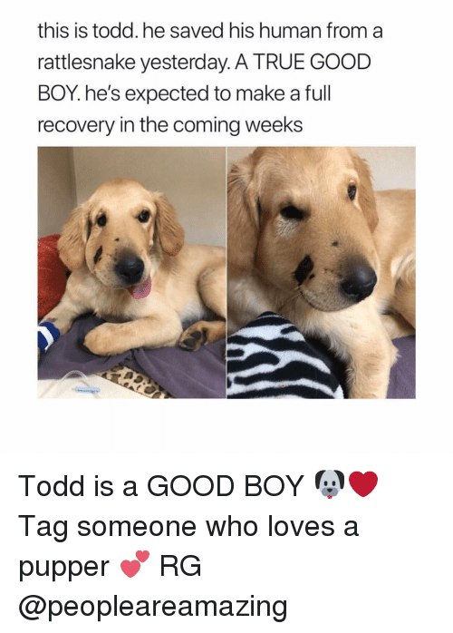 True, Girl, and Good: this is todd.he saved his human from a  rattlesnake yesterday. A TRUE GOOD  BOY.he's expected to make a full  recovery in the coming weeks Todd is a GOOD BOY 🐶❤️ Tag someone who loves a pupper 💕 RG @peopleareamazing