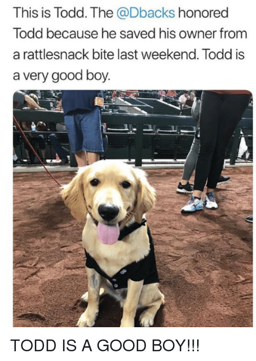 Mlb, Good, and Boy: This is Todd. The @Dbacks honored  Todd because he saved his owner from  a rattlesnack bite last weekend. Todd is  a very good boy. TODD IS A GOOD BOY!!!
