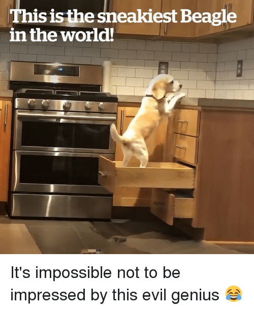 Genius, World, and Evil: This isthe sneakiest Beagle  in the world! It's impossible not to be impressed by this evil genius 😂