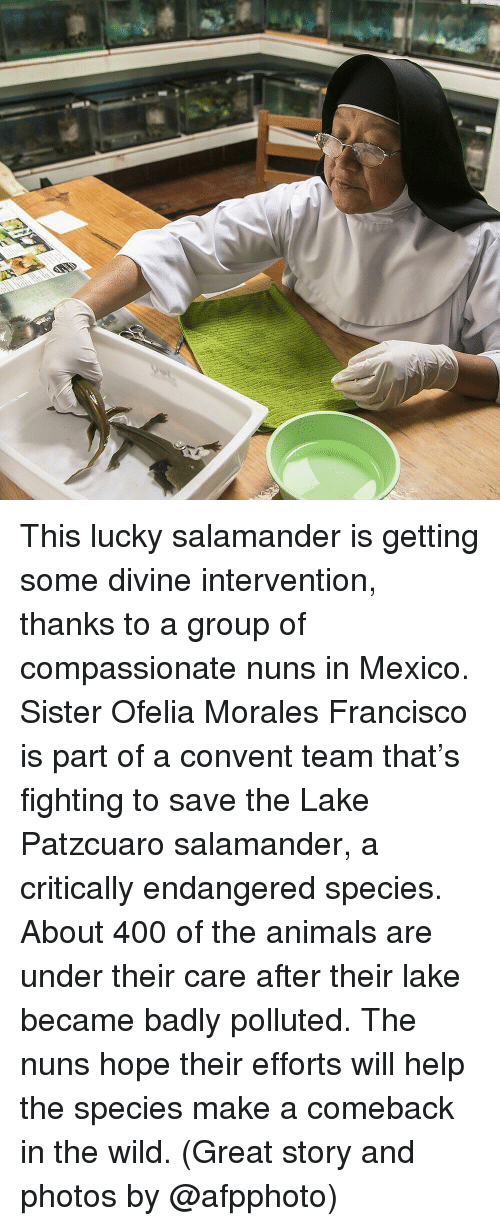 Great Story: This lucky salamander is getting some divine intervention, thanks to a group of compassionate nuns in Mexico. Sister Ofelia Morales Francisco is part of a convent team that's fighting to save the Lake Patzcuaro salamander, a critically endangered species. About 400 of the animals are under their care after their lake became badly polluted. The nuns hope their efforts will help the species make a comeback in the wild. (Great story and photos by @afpphoto)