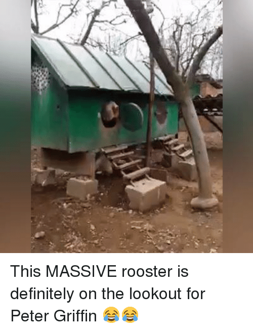 Peter Griffins: This MASSIVE rooster is definitely on the lookout for Peter Griffin 😂😂