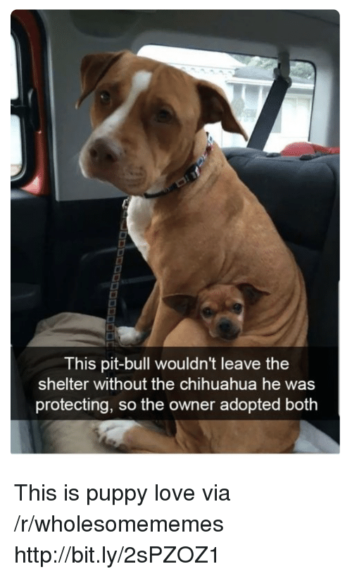 Chihuahua, Love, and Http: This pit-bull wouldn't leave the  shelter without the chihuahua he was  protecting, so the owner adopted both This is puppy love via /r/wholesomememes http://bit.ly/2sPZOZ1