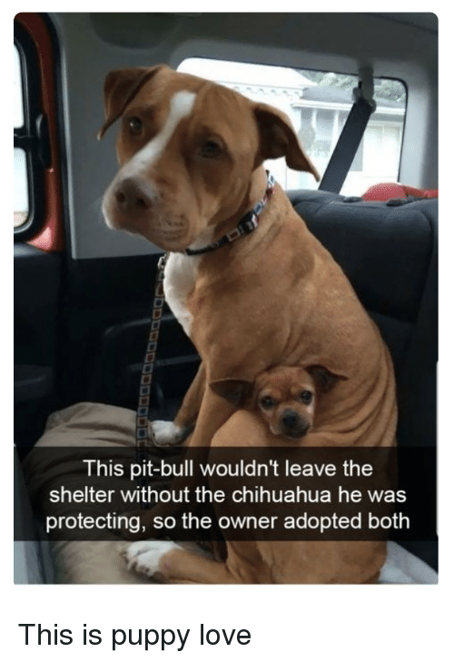 Chihuahua, Love, and Puppy: This pit-bull wouldn't leave the  shelter without the chihuahua he was  protecting, so the owner adopted both This is puppy love