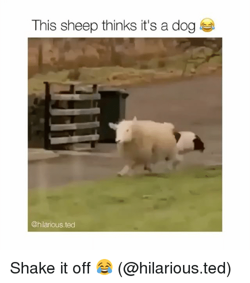 Shake It Off: This sheep thinks it's a dog  @hilarious.ted Shake it off 😂 (@hilarious.ted)