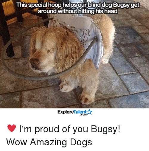 talent explore: This special hoop helps our blind dog Bugsy get  around without hitting his head  Talent  Explore ♥️ I'm proud of you Bugsy!   Wow Amazing Dogs