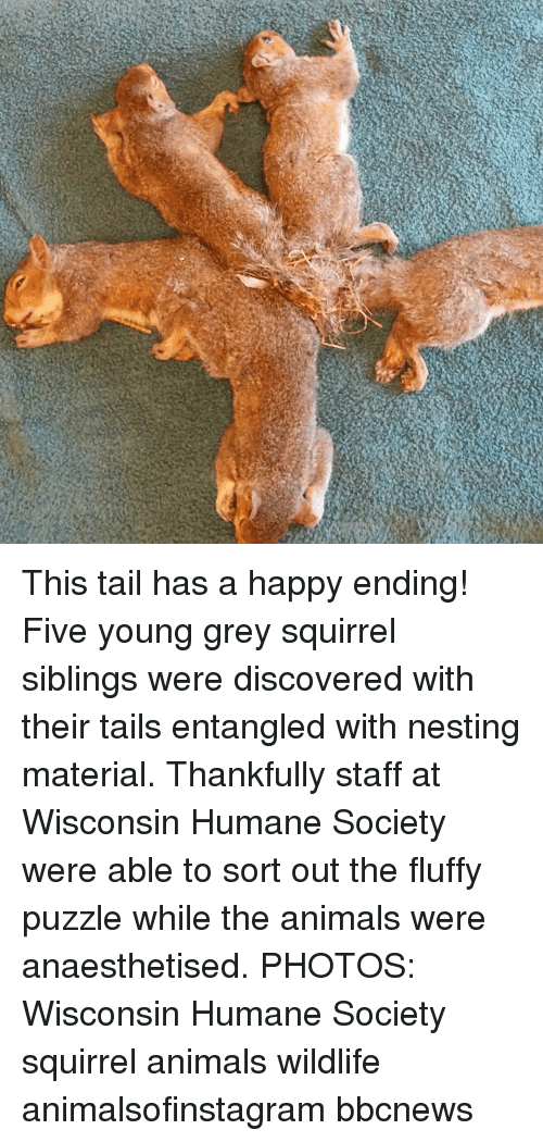 nesting: This tail has a happy ending! Five young grey squirrel siblings were discovered with their tails entangled with nesting material. Thankfully staff at Wisconsin Humane Society were able to sort out the fluffy puzzle while the animals were anaesthetised. PHOTOS: Wisconsin Humane Society squirrel animals wildlife animalsofinstagram bbcnews