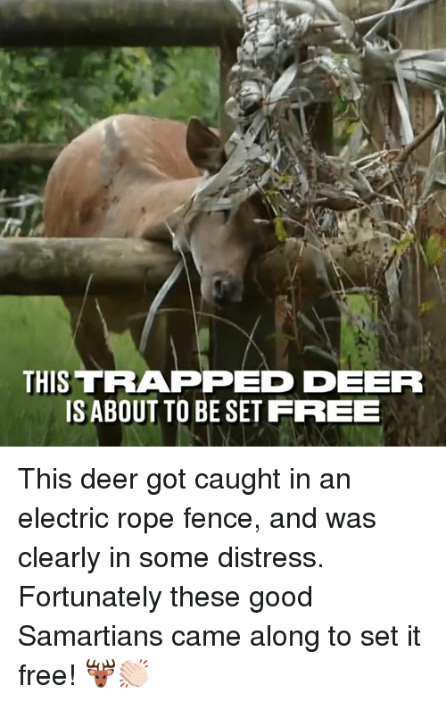Dank, Deer, and Free: THIS TRAPPED EER  ISABOUT TO BE SET FREEE This deer got caught in an electric rope fence, and was clearly in some distress. Fortunately these good Samartians came along to set it free! 🦌👏🏻