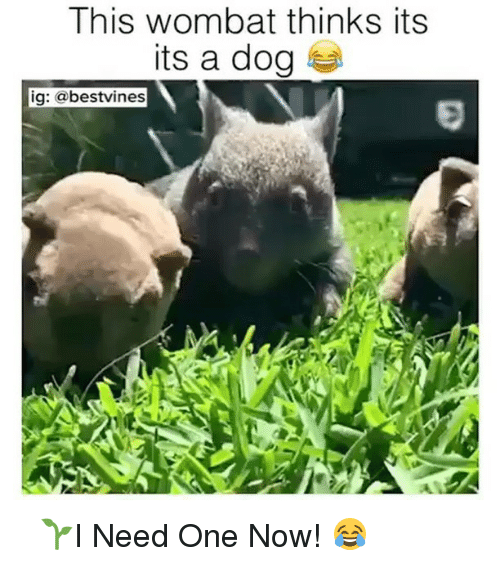 wombats: This wombat thinks its  its a dog  ig: a bestvines ⠀ 🌱I Need One Now! 😂