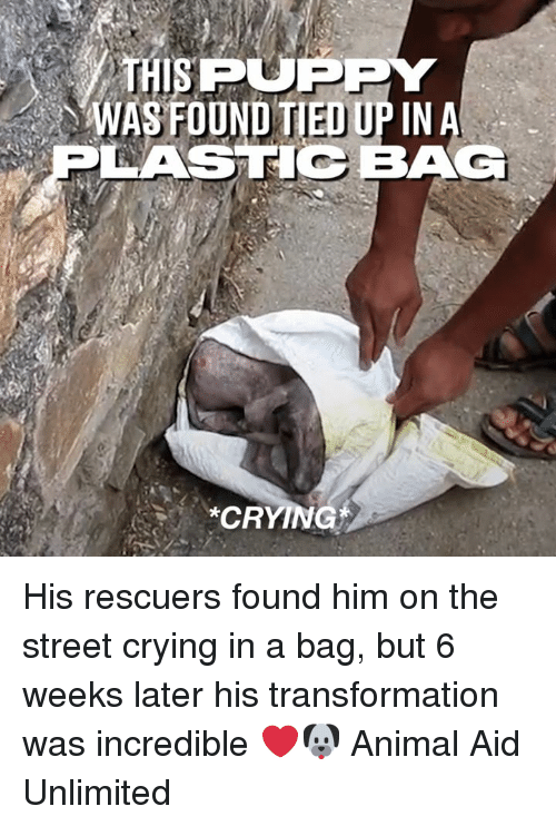 Crying, Dank, and Animal: THISPUPPY  WASFOUND TIED UP IN A  LASTIC BAG  CRYING His rescuers found him on the street crying in a bag, but 6 weeks later his transformation was incredible ❤️🐶  Animal Aid Unlimited