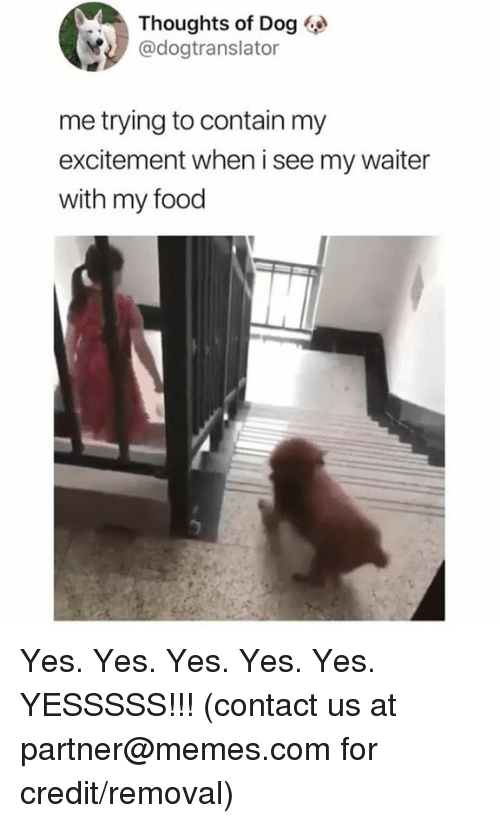 yes yes yes: Thoughts of Dog  @dogtranslator  me trying to contain my  excitement when i see my waiter  with my food Yes. Yes. Yes. Yes. Yes. YESSSSS!!!  (contact us at partner@memes.com for credit/removal)