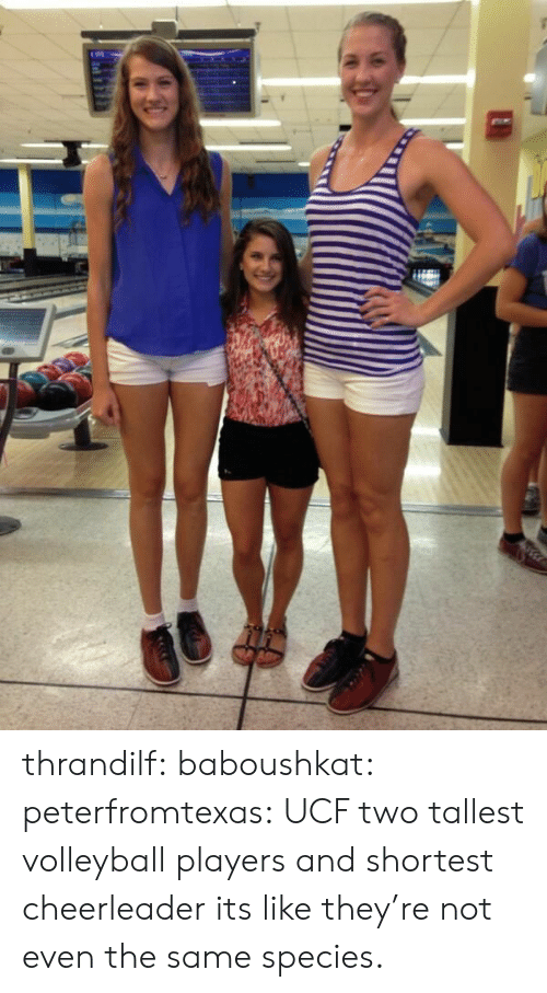 Volleyball: thrandilf:  baboushkat:  peterfromtexas:  UCF two tallest volleyball players and shortest cheerleader  its like they're not even the same species.
