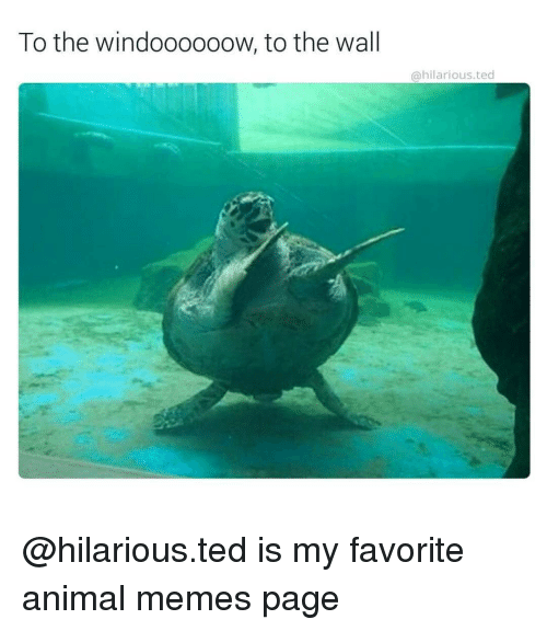 Animals Memes: To the windoooooow, to the wall  hilarious ted @hilarious.ted is my favorite animal memes page